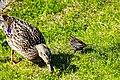 Duck (27479074617).jpg