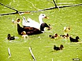 Ducks with their ducklings - panoramio.jpg
