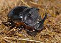 Dung Beetle (Copris sp.) (12883352425).jpg