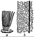 EB1911 Mycetozoa - Stemonitis splendens.jpg