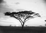 ETH-BIB-Schirmakazie in der Serengeti-Kilimanjaroflug 1929-30-LBS MH02-07-0486.tif