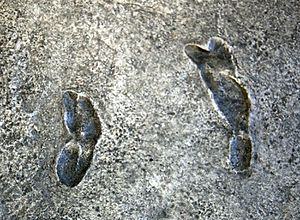 Laetoli - Cast of the Laetoli footprints, on display in the Hall of Human Origins in the Smithsonian Institution's National Museum of Natural History in Washington, D.C.