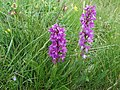 Early purple orchid - Orchis mascula - panoramio.jpg