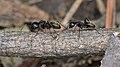 Eastern Black Carpenter Ants (Camponotus pennsylvanicus) - Guelph, Ontario 2017-04-27 (02).jpg