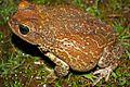 Eastern Giant Toad (Peltophryne peltocephala) (8573972371).jpg