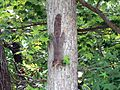 Eastern gray squirrel on tree sciurus carolinensis.jpg