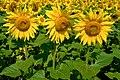 Eberndorf Köcking Sonnenblumenfeld Biohof Tomic 18072014 0794.jpg