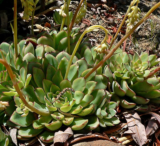 Echeveria pulidonis 4