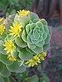 Echeveria species at Ooty (7).jpg