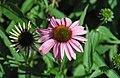 Echinacea purpurea (purple coneflowers) 1 (39444960851).jpg