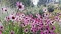 Echinacea tennesseensis JBM.jpg
