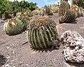 Echinocactus Grusonii - Oasis Park botanical garden - Fuerteventura - 03.jpg