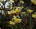 Edgeworthia chrysantha grandiflora - Flickr - peganum.jpg