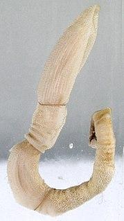 Hemichordate Phylum of deuterostome animals