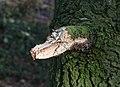 Eik (Quercus). Verse wond van afgebroken dode eikentak 01.jpg