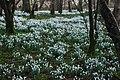 Eirlysiau ar Lan Afon Dwyfor - Snowdrops on the Banks of Afon Dwyfor - geograph.org.uk - 684032.jpg