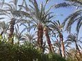 El-kharga Palms.jpg
