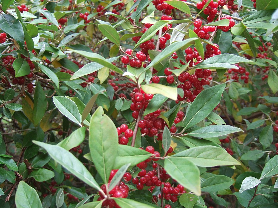 Elaeagnus umbellatus at the Agroforestry Research Trust forest garden