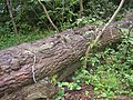 Electrified tree trunk, Baildon - geograph.org.uk - 191038.jpg