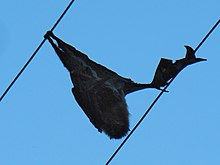 A dead flying fox hangs on overhead power lines, with blue sky behind it.
