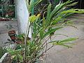 Elettaria cardamomum-BSI-2-yercaud-salem-India.JPG