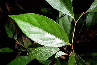 <i>Endiandra pubens</i> Species of tree