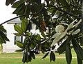 Endview Plantation South Magnolia Newport News VA USA June 2020.jpg