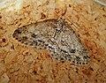 Engrailed. Ectropis bistortata (47279978391).jpg