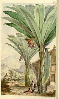 <i>Ensete ventricosum</i> species of plant