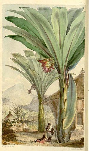 Ensete ventricosum - Ensete ventricosum, by Walter Hood Fitch (1861)
