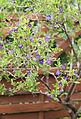 Enzianstrauch (Solanum) (19229026466).jpg