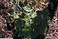 Epimedium grandiflorum Lilafee 3zz.jpg