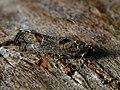 Epinotia maculana - Листовёртка разнообразная осиновая (26390015217).jpg