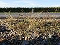 Eragrostis multicaulis sl1.jpg