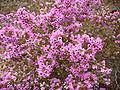 Erica melanthera flower.JPG