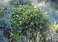 Ericameria ericoides kz5.jpg