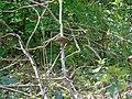 Erithacus rubecula.005 - Golden Valley.jpg