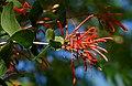 Erva de Passerinho (Psittacanthus calyculatus) (28084169611).jpg