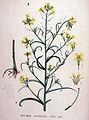 Erysimum canescens — Flora Batava — Volume v19.jpg
