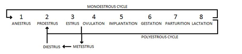 File:Estrous cycle.png