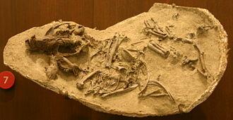 Castoridae - Eucastor tortus