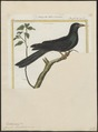 Eudynamys horonata - 1700-1880 - Print - Iconographia Zoologica - Special Collections University of Amsterdam - UBA01 IZ18800305.tif
