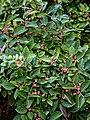 Euonymus europaeus Spindle, Highdown Gardens, Worthing.jpg