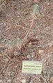 Euphorbia nicaeensis All. 19-08-2011 18-46-17 1406x2186.JPG