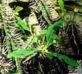 Euphorbia viguieri - Palmengarten Frankfurt.jpg