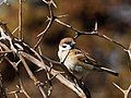 Eurasian Tree Sparrow スズメ (247564895).jpeg