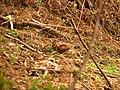 Eurasian Woodcock IMG 9910 02.jpg