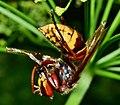 European hornet ( Vespa crabro ) Стършел яде малка оса.jpg