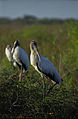 Everglades04(js)-Wood Stork.jpg