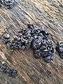 Exidia glandulosa 58687596.jpg